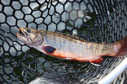 Male brook trout in a landing net