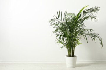 Photo sur Aluminium Vegetal Tropical plant with lush leaves on floor near white wall. Space for text