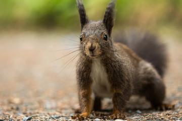 Europäisches Eichhörnchen (Sciurus vulgaris)