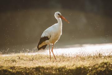 stork in habitat