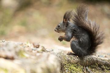 Europäisches Eichhörnchen (Sciurus vulgaris), sitzt auf einer Wurzel