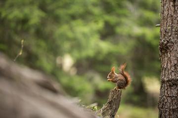 Europäisches Eichhörnchen (Sciurus vulgaris), sitzt auf Aststumpf und frisst