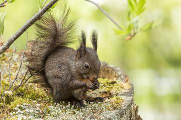 Europäisches Eichhörnchen (Sciurus vulgaris), sitzt auf einem alten Baumstumpf und frisst