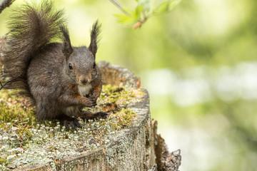 Europäisches Eichhörnchen (Sciurus vulgaris), sitzt auf einem alten Baumstumpf