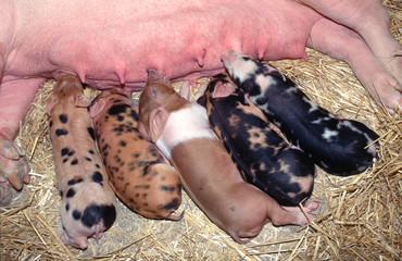 Piglets feeding on mum.