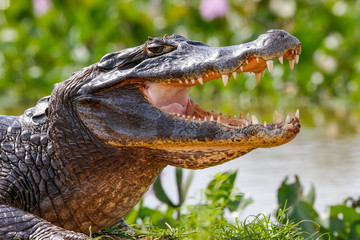 Close-up of a Black Caiman profile with open mouth against defocused background at the water edge, Pantanal Wetlands, Mato Grosso, Brazil