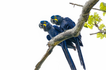 Low angle view of a couple of Hyacinth Macaws perching on a tree branch against bright sky, Pantanal Wetlands, Mato Grosso, Brazil