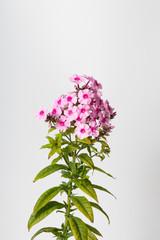 Flower spike of Phlox paniculata Pastorale