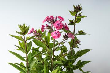 Flowers and foliage of Phlox paniculata Junior Dance