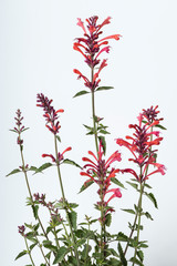 Flowers of Agastache Kudos Coral