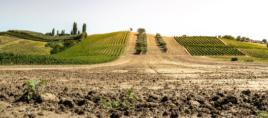 Olive trees in rows and vineyards in Italy. Olive and wine farm. Tilled ground soil.