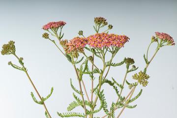 Flower head of yarrow Achillea millefolium