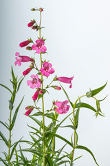 Flower spike of pink penstemon
