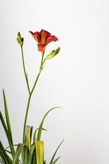 Flowers and foliage of bronze daylily Hemerocallis