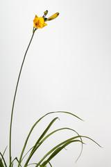 Flowers and foliage of daylily Hemerocallis Little Betsy