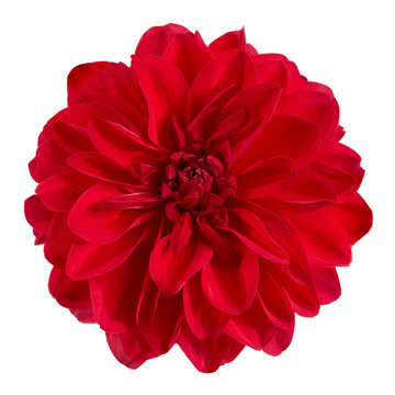 Dahlia flower, Red dahlia flower isolated on white background, with clipping path