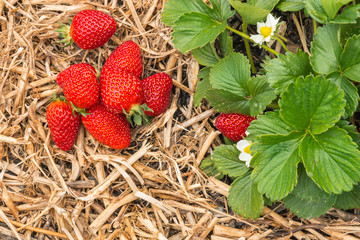 strawberry plant with ripe strawberries on straw in garden