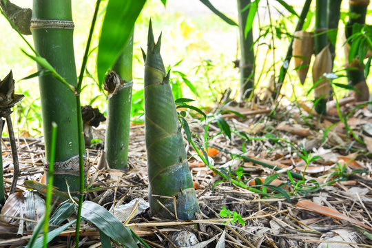 bamboo shoot or bamboo sprout that come out and growing from the ground