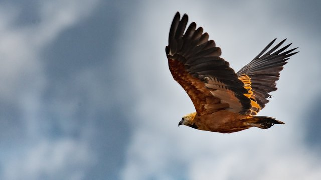 Closeup shot of a flying golden eagle with the background of the cloudy sky