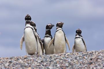 Fotobehang Pinguin Pingüino de Magallanes (Spheniscus magellanicus), Isla Pingüino, Puerto Deseado, Patagonia, Argentina. Magellanic Penguin