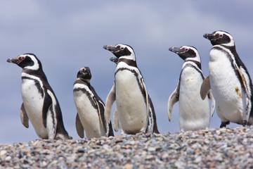Pingüino de Magallanes (Spheniscus magellanicus), Isla Pingüino, Puerto Deseado, Patagonia, Argentina. Magellanic Penguin