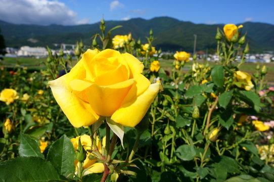 Yellow rose in botanical garden