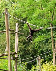 Cute Gibbon Monkey Swinging Playfully on Ropes