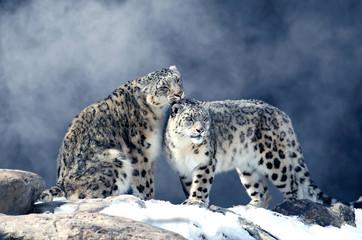 In de dag Luipaard Léopard des neiges