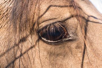 Das Auge des Wildpferds