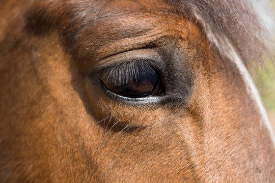 Das Auge des Trakehners
