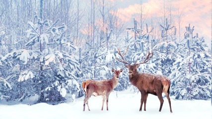 Fototapete - Family of noble deer in a snowy winter forest at sunset. Christmas fantasy image in blue, pink  and white color. Snowing.