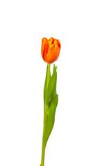 Tulpe Freisteller