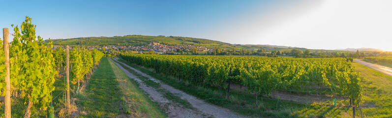 Foto auf Leinwand Weinberg Dangolsheim, France - 09 17 2019: Panoramic view of the vineyards and the village at sunset.