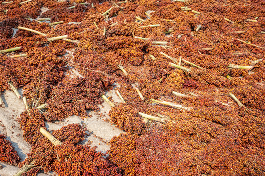 Sorghum bicolor plant harvested and drying out after harvest, Uganda, Africa