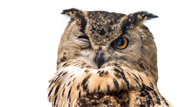 The horned owl with one open eye. Isolated on a white background.