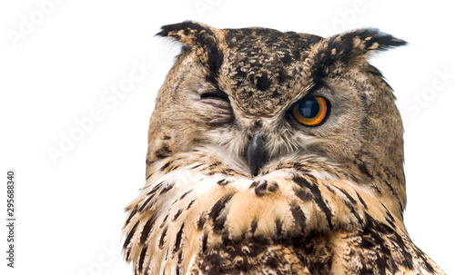 Wall mural The horned owl with one open eye. Isolated on a white background.