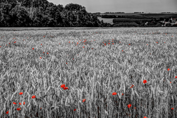Papiers peints Rouge, noir, blanc Black and white background with red poppies in the foreground