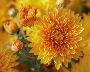 Golden Chrysanthemums in Autumn season