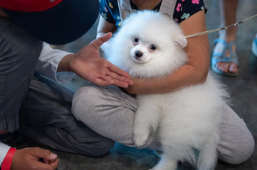 Cute puppy white spitz plays with children at a dog show, looks like a white cloud