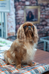 Red king charles spaniel portrait at a dog show