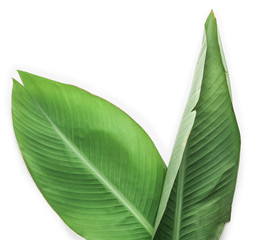 Wall Mural - Fresh tropical leaves on white background