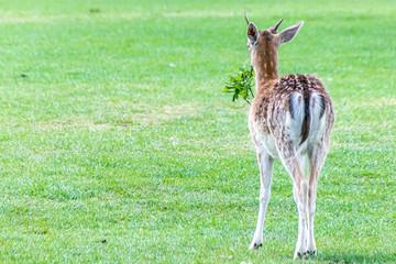 Fallow deer (dama dama) walking away with a fallen tree branch