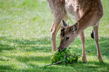 Fallow deer (dama dama) eating leaves from fallen tree branches