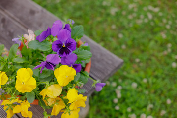 Poster Pansies Beautiful flower field of blooming purple yellow wild pansy ,heartsease ,Johnny Jump up,garden violet ,Field Pansy , Japan is small flowering plant use as meadow flowerbed in garden