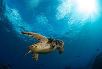 Hawaiian Green Sea turtle on a coral reef in Maui Wall mural