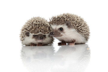 couple of two african hedgehogs standing side by side