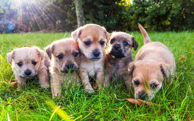 Five brown puppies in the grass