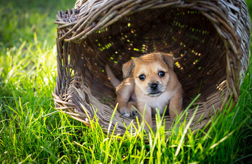 Brown puppy in wicker basket