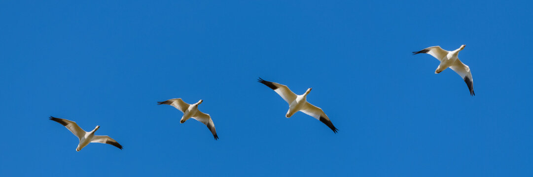 Snow gooses flying in blue sky in Canada, beautiful white birds during the migration