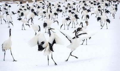Dancing Cranes. The ritual marriage dance of cranes. The red-crowned crane. Scientific name: Grus...